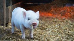 chine cochon
