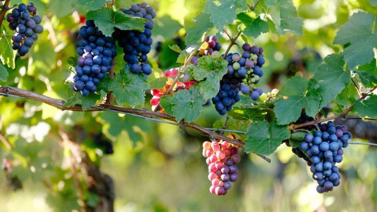 vin chine